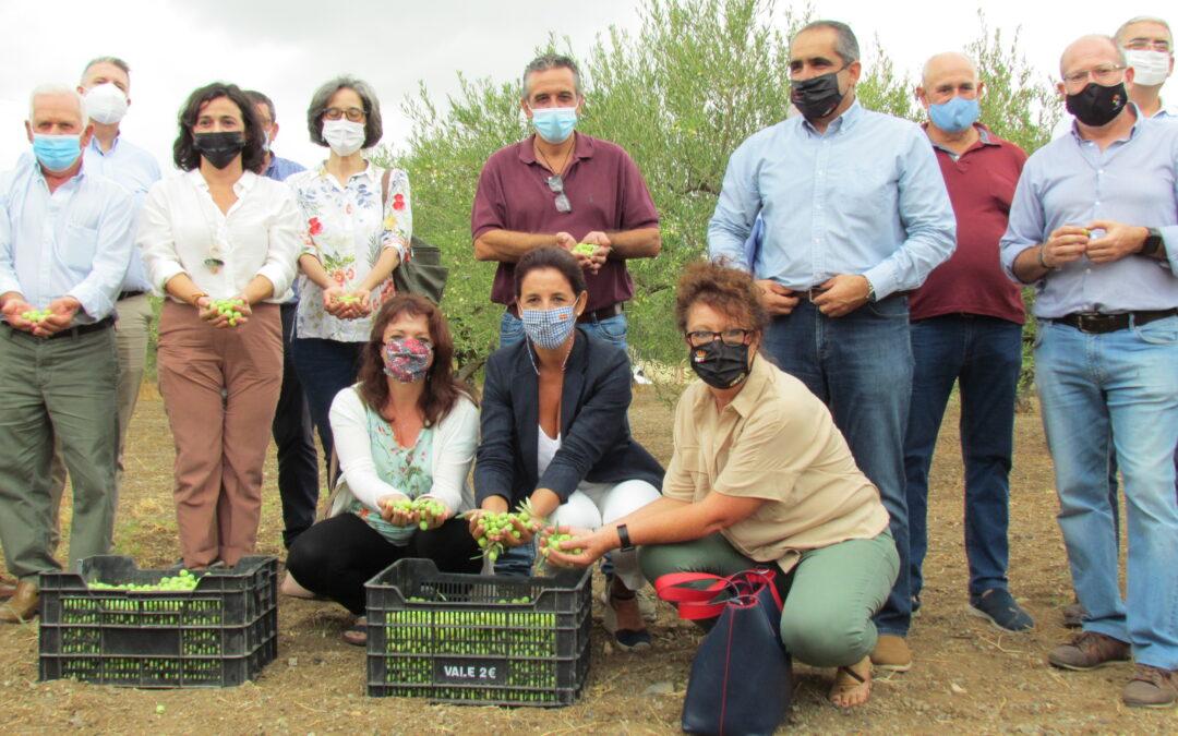 Alhaurín el Grande acoge el arranque de la campaña 2020-21 de recolección de la Aceituna Aloreña de Málaga